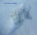 Coyote track double register