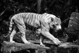 White Tiger (Singapore Zoo)