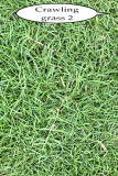 grass or weed 2 IMG_3828.jpg