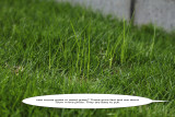 grass or weed grass 2 IMG_3841.jpg