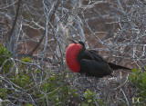 Magnificent frigate bird (male)