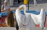 irate pelican, Mykonos