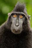 Macaca nigra (Black Crested Macaque)