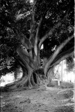 Kings Park Moreton Bay Fig