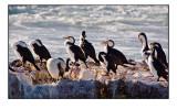 Pied cormorants resting at Trigg Island, Perth Western Australia