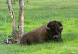 Bison hanging out between Mammoth and Norris