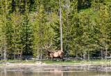 Bull Elk feeding off of Fairy Falls trail