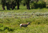 Pronghorn across Yellowstone River in Lamar Valley