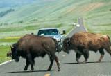 Bison blocking road in Lamar Valley