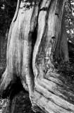 Old cypress, Olympic Peninsula, Washington State, 2011.jpg