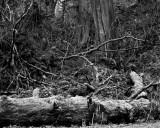 Moss-covered logs, Olympic Peninsula, 2011.jpg