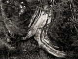 Old cypress roots 2, Olympic Peninsula, 2011.jpg