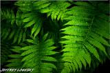Ferns Along Little Devil Stairs