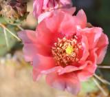 April 8, 2012  Catcus Flower