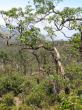 Eucalyptus orophila woodland Mt Ramelau
