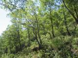 Eucalyptus urophylla open forest