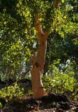 Eucalyptus alba