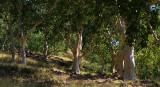 Eucalyptus alba savanna