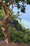 Atauro landscape with Eucalyptus alba
