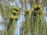 Horsetail Oak (Casuarina equisetifolia)