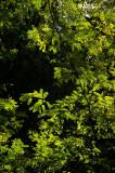 Tamarind Tree (Tamarindus indica) foliage