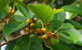 fig in fruit