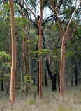 open forest with Lemon-scented Gums