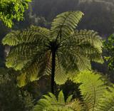 Black Mamaku tree-fern (Cyathea medullaris)