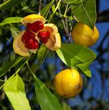 Denhamia (Denhamia obscura)