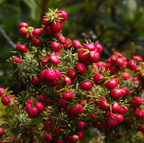 Common Pinkberry (Leptecophylla juniperina)