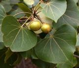 Portia Tree (Thespesia populnoides)