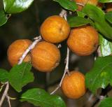 Quinine Tree (Petalostigma pubescens)
