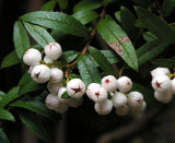 Snowberry (Gaultheria hispida)