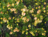 a hopbush (Dodonaea physocarpa)