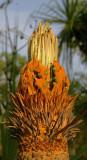 a cycad (Cycas armstrongii)