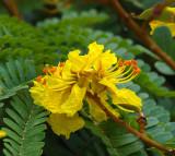 Yellow Flame-tree (Peltophorum pterocarpum)
