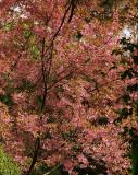 Himalayan Wild Cherry
