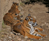 Sumatran Tiger family