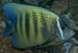6 Banded Angelfish being cleaned by Cleaner Wrasse