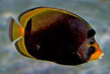 Black Butterflyfish (Chaetodon flavirostris)