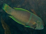 green banded wrasse ?
