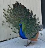 Juvenile Peacock displaying