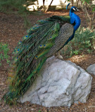 Peacock on a rock