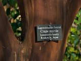 Crape Myrtle