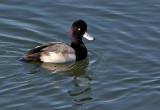 Lesser Scaup drake (male)