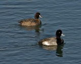 Lesser Scaup (breeding pair)