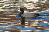 Adult Coot on the River Dour