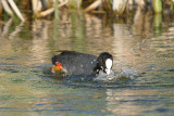Coot with Baby River Dour