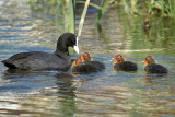 Coot with Babies River Dour 02