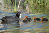 Coot with Babies River Dour